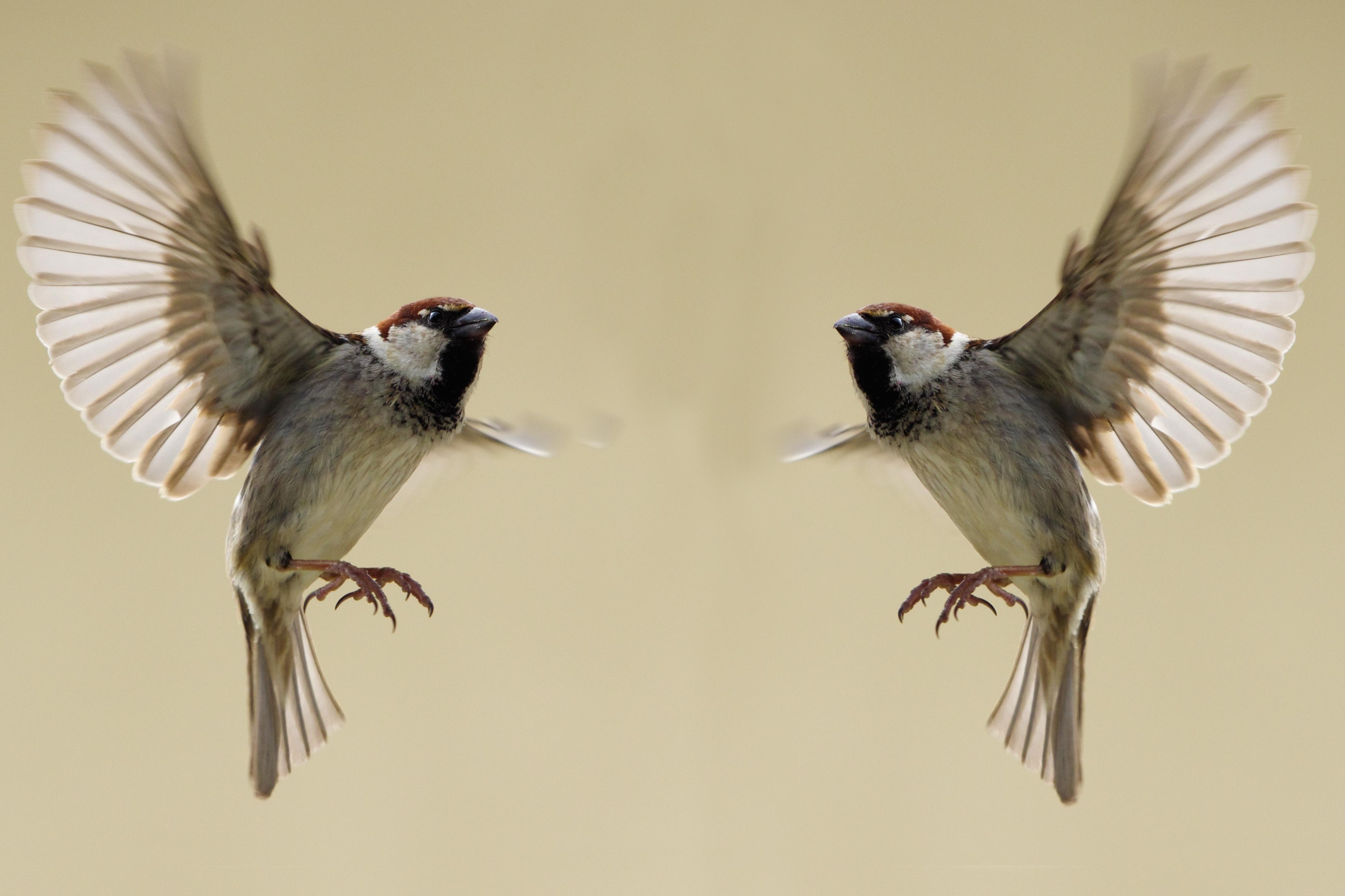 Sparrows In Flight Custom Wallpaper
