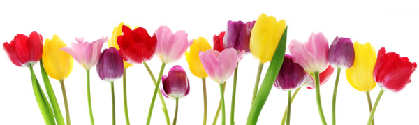 Spring tulip flowers in a row
