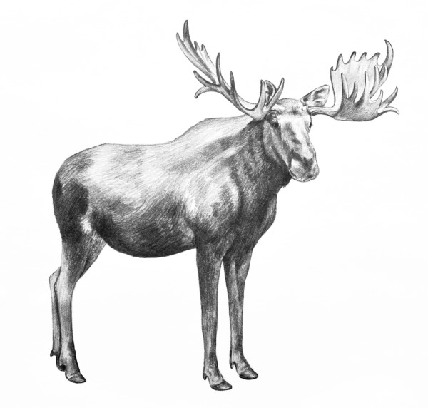 Moose illustration. Hand drawn moose pencil sketch isolated on white background. Huge standing moose with big antlers.