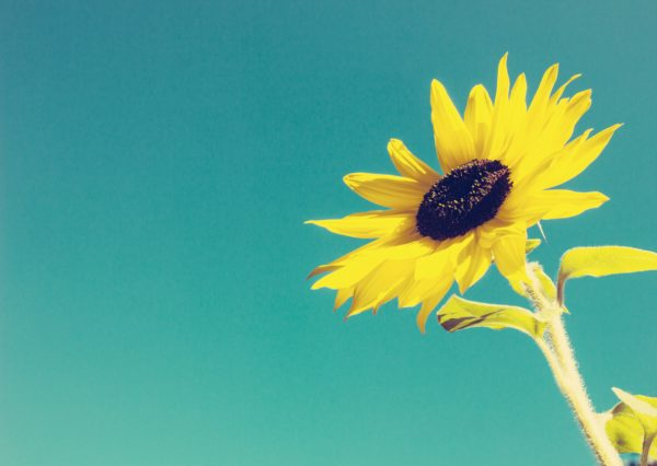 Sunflower against a cloudless Sky with a Texture Overlay