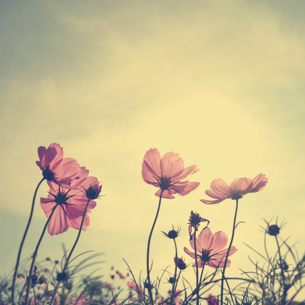 Vintage Cosmos Flowers In Sunset Time Custom Wallpaper