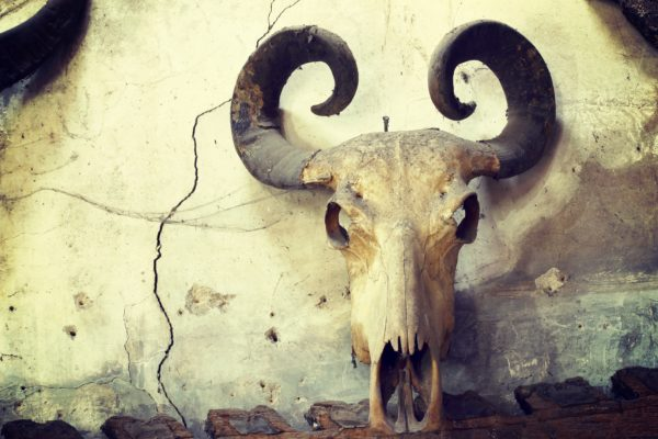 Buffalo skull on old wall