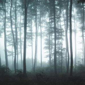 Forest trees with a misty forest haze
